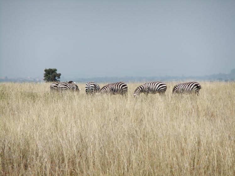 Zebras Safari Nairobi Kenia