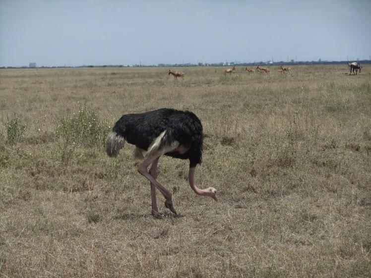 Strauß Afrika Safari Kenia