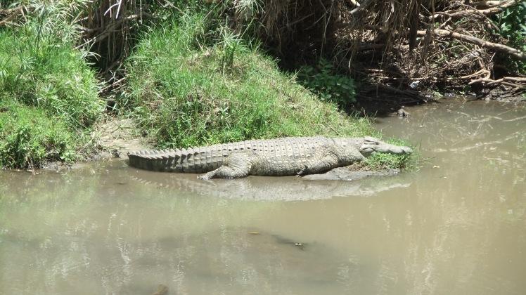 Krokodil Afrika Safari Kenia Nationalpark